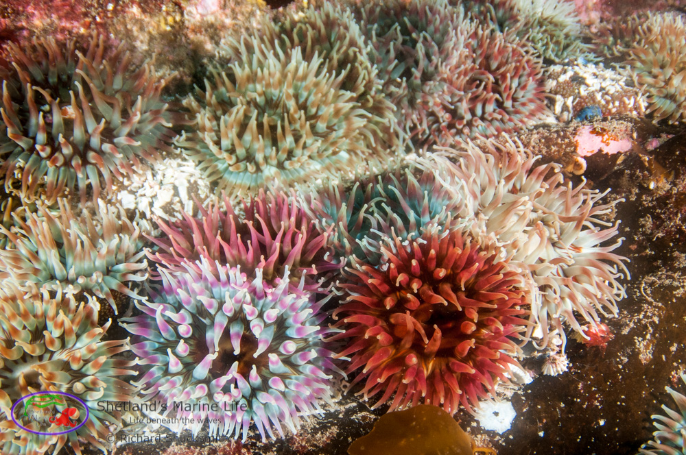Another brightly coloured, attractive anemone is the 'Dahlia anemone'. Which is found on rocks and in crevices.<br /><br />