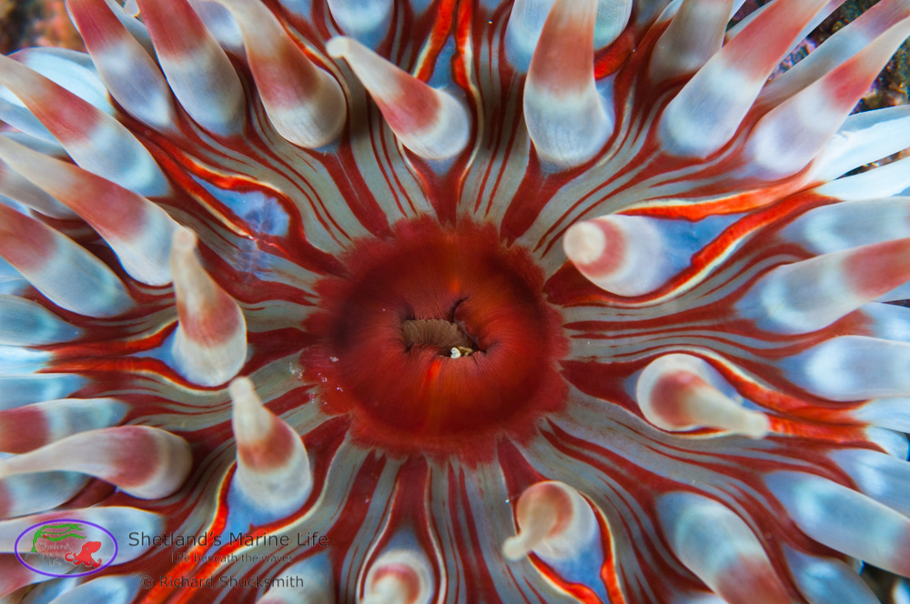 Unlike jewel and plumose anemones they do not clone themselves, so are not identical. Individuals next to each other can have quite different colour patterns.