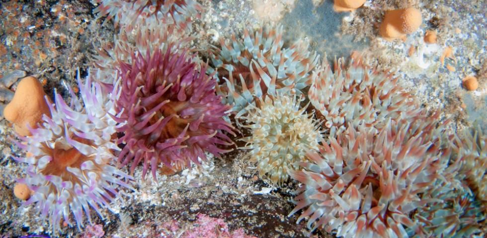 anemone, marine life, Underwater Shetland, diving, dive, scuba