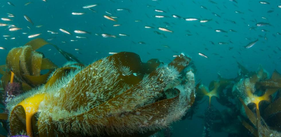 Kelp forest, kelp, marine life, Underwater Shetland