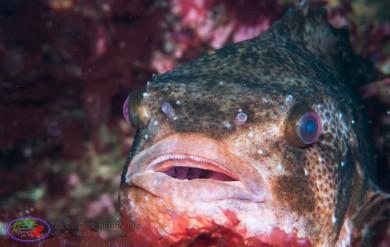 Lumpsucker fish marine life Shetland Islands