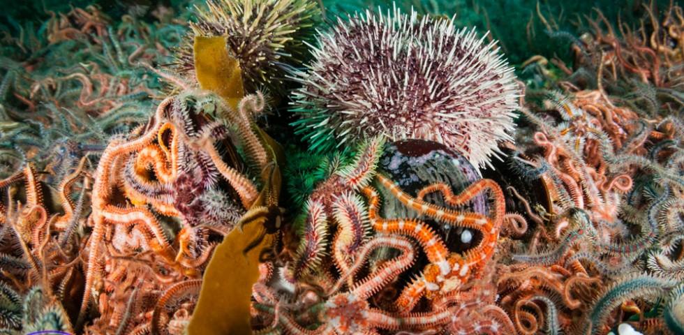 Sea urchin, horse mussel, marine life, Shetland, Underwater Shetland