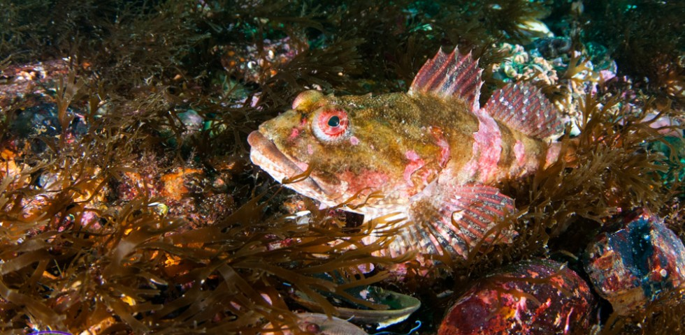 Scorpion fish, diving, Underwater Shetland, dive, photography, marine life