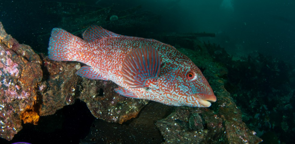 Wrasse, Underwater Shetland, Diving, fish, marine life